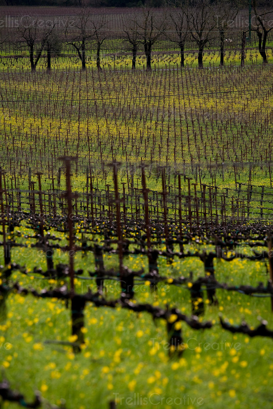 Looking out across a dormant winter vineyard in Napa Valley