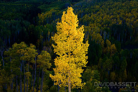 Arbor Gold | San Juan Mountains, CO