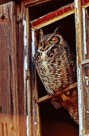 Owl_in_window_HDR