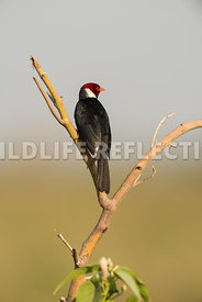 yellow_billed_cardinal_pantanal-9