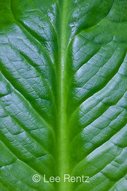 Yellow Skunk Cabbage Leaf