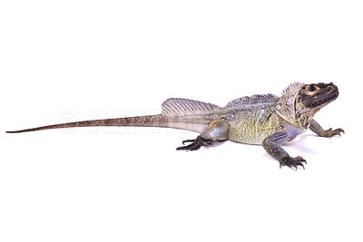 Philippine sailfin lizard (Hydrosaurus pustulatus)  photos