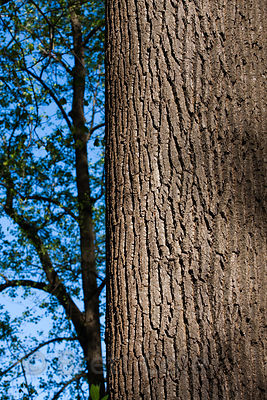 Large tree in an arboretum in Westchester, Pennsylvania