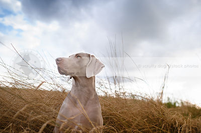 weimaraner sitting in tall dried grasses under cloudy sky