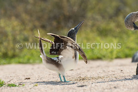 blue_footed_booby_north_seymour-43