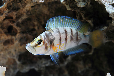 Altolamprologus compressiceps sp sumbu