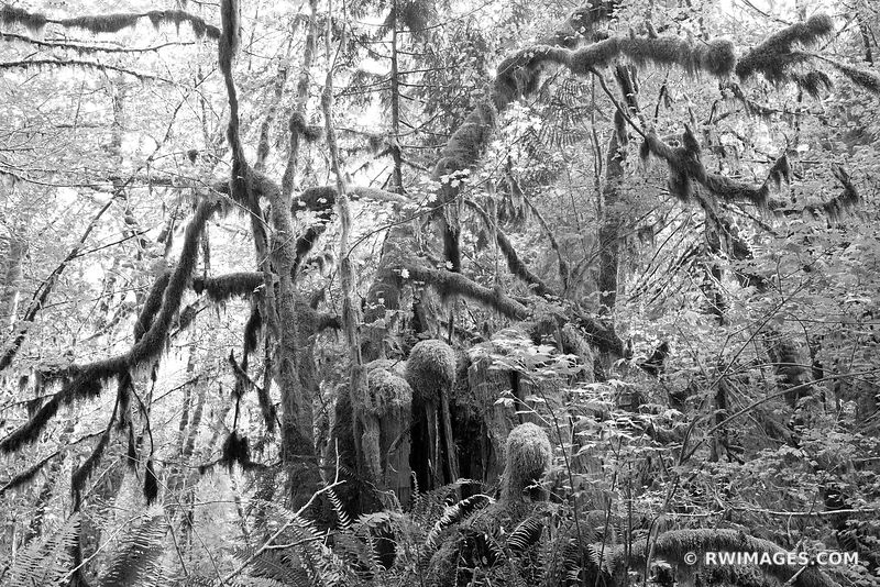 HOH RAINFOREST OLYMPIC NATIONAL PARK PACIFIC NORTHWEST FOREST BLACK AND WHITE