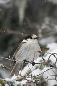Gray Jay (Perisoreus canadensis) perched on a branch during a snowstorm on Hurricane Ridge, Olympic National Park, Olympic Peninsula, Washington, USA, March, 2009_WA_8095