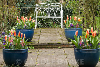 Containers of spring bulbs frame a metal seat. Beechenwood Farm, Odiham, Hants, UK