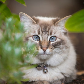 Cross-eyed grey cat with blue eyes behind leaves