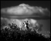 5130-Giraffe_under_the_clouds_Laurent_Baheux