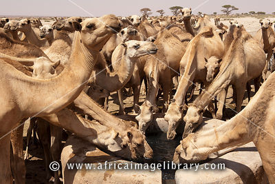 Camels drinking at  a  well in Sanaag region, Somaliland, Somalia