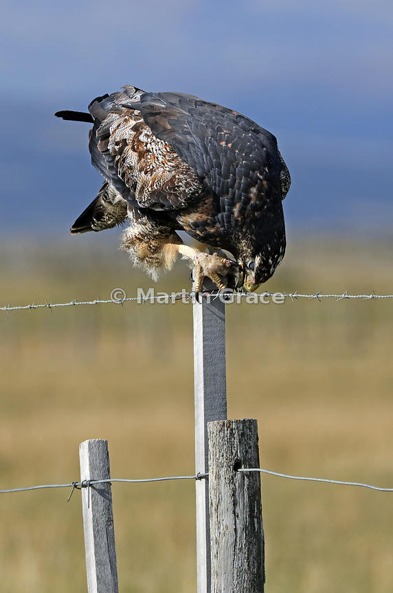 Juvenile Black-Chested Buzzard-Eagle (Geranoaetus melanoleucus) eating carrion (dead sheep) as it stands on a fence post, Patagonia, Chile