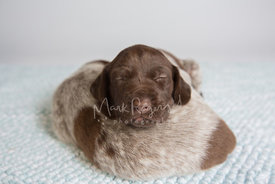 two brown and white pointer puppies sleeping together