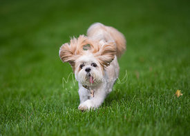small dog running on lawn with ears flopping