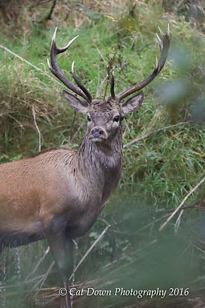 Red_Deer_Stag_on_Exmoor