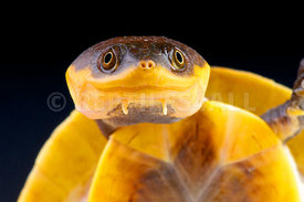 Batrachemys raniceps, Amazon toad-headed turtle, Brazil