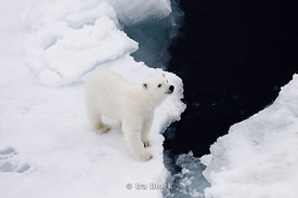 A small polar bear cub stops momentarily at the edge of an ice floe near Svalbard, Norway.
