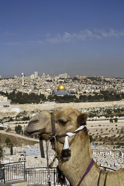 Israel - Jerusalem - A camel used by tourists in front of a view of the Old City as seen from the Mount of Olives