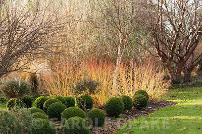 Cornus sanguinea 'Midwinter Fire' with box balls, Buxus sempervirens, and a white stemmed birch. Sir Harold Hillier Gardens, Ampfield, Romsey, Hants, UK