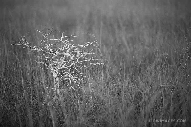 DWARF CYPRESS AND SAWGRASS PRAIRIE PA-HAY-OKEE OVERLOOK EVERGLADES NATIONAL PARK FLORIDA BLACK AND WHITE