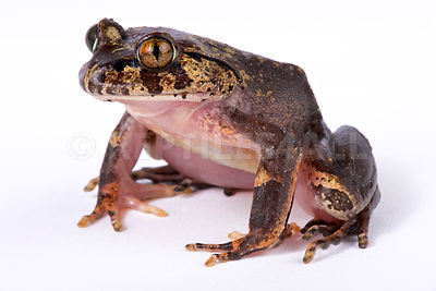 Hairy frog (Trichobatrachus robustus) photos