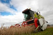 Combining undersown spring barley with a Claas Dominator Combine
