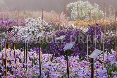 Asters in the stock beds, lined up behind their labels. Waterperry Gardens, Wheatley, Oxfordshire, UK