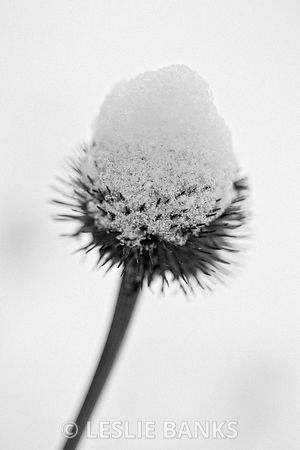 Coneflower covered in snow