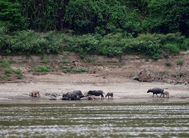 Water Buffalo on the banks of the Mekong