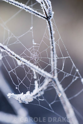 Frosted spider's web in October