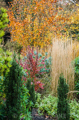 Mixed autumn border with upright grass Calamagrostis × acutiflora 'Overdam', euphorbia, berberis and upright Ilex crenata 'Fastigiata'.
