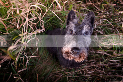 sweet silver and black scottie dog staring up from grasses