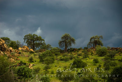 Three baobab trees dwarfing other trees on the skyline of a green grassy hill with dark grey storm skies behind.