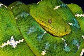Corallus caninus, Emerald tree boa, French Gyuana