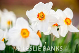 White Daffodil Flowers