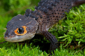 Triblonotus gracilis, Orange-eyed crocodile skink, Indonesia