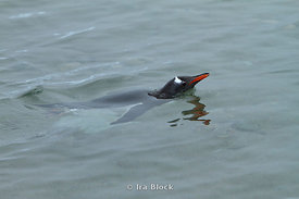 A gentoo penguin swimming in the ocean at Neko Harbor, the Antarctic Peninsula.