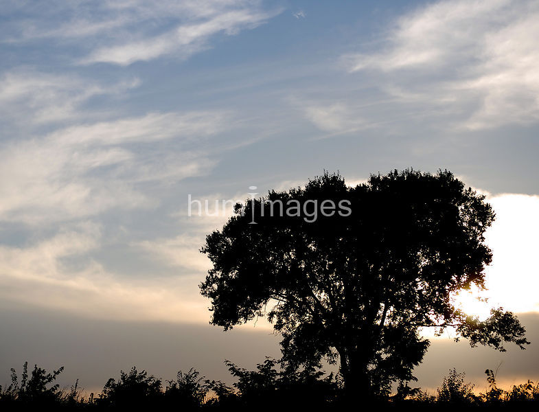 Silhouette of tree in a field at sunset