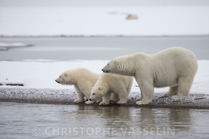 OURS POLAIRE / POLAR BEAR photos