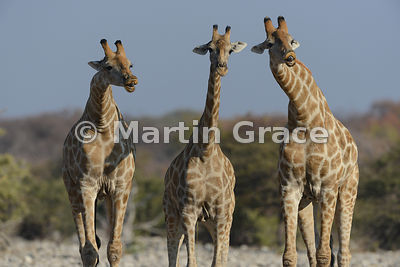Two bull Plains Giraffes (Giraffa camelopardalis) tasting the urine of the central female to test for oestrus, Etosha, Namibia: Image 6 of a sequence of 6