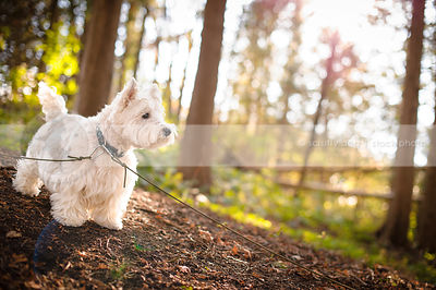 alert westhighland terrier standing on sunlit slope