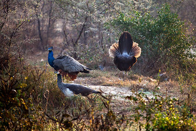 Wild Indian peafowl (Pavo cristata), Keoladeo National Park, Bharatpur, India