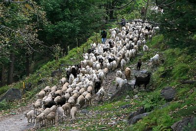 Goat herd near Palchan, Manali, India