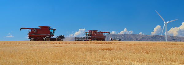 Harvesting Soft, white winter wheat