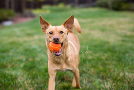 Close-up of Brown Dog with Ball