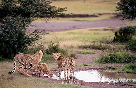 Cheetahs by watering hole, Kenya, Africa