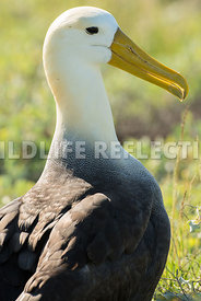 waved_albatross_espanola-52