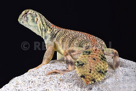 Omani spiny-tailed lizard (Uromastyx thomasi)