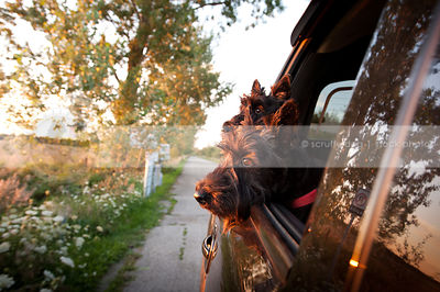 two curious black scottie dogs looking out car window at sunset